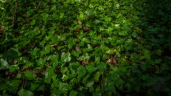 Woodsy ivy