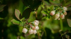 More huckleberry blossoms
