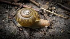 Albino snail?