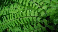Water droplets on fern