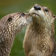 NC Wildlife Success Story:  American River Otter