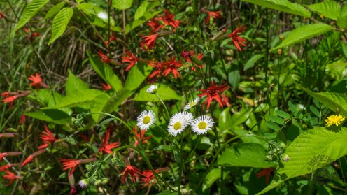 Fire pinks and daisy fleabane