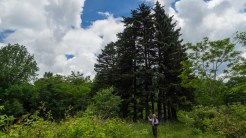 Pine grove at Sugar Creek Gap