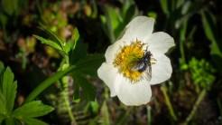 Even flies pollinate