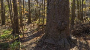 Loblolly pine trunk
