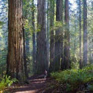 Redwood grove being loved to death