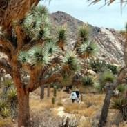 Joshua Tree: where people climb and the cactuses jump