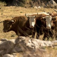 Feral cattle terrorize hikers and devour native plants in a California national monument