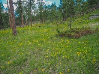 Meadow of goldenpea