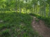 Young aspen grove