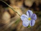Blue flax