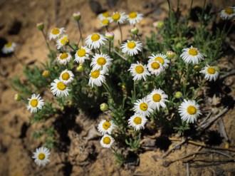 Townsend daisies