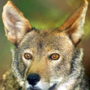 Red wolves can't be arbitrarily killed, federal judge rules