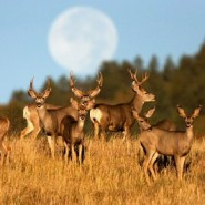 The disease devastating deer herds may also threaten human health