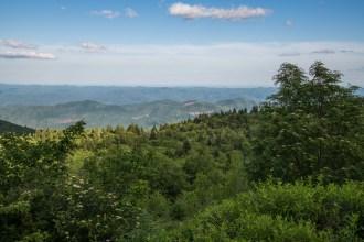 Mountain ash trees