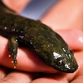 Hellbenders Need You to Stop Messing With Their Bedrooms
