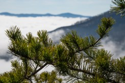 Pine bough
