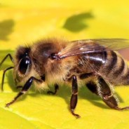 How to identify different types of bees