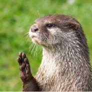 Studies show North Carolina's river otters are thriving, and that's good news for all of us