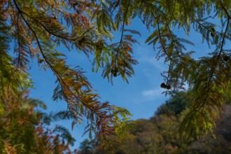 Redwood boughs