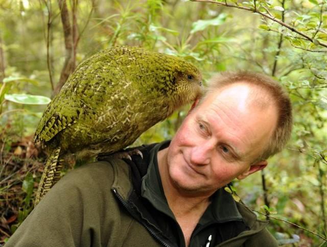 A kihalástól megmentett kakapó fordulatos története