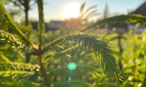 Sonnenaufgang durch Tannzweige hindurch