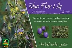 Dorroughby bush tucker blue flax lily