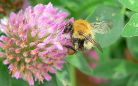 95163935 carvell bombus pascuorum common carder bee foraging at red clover 2016 07 09388b 1024x768 - Flower-friendly habitat for bumblebees 'raises survival'