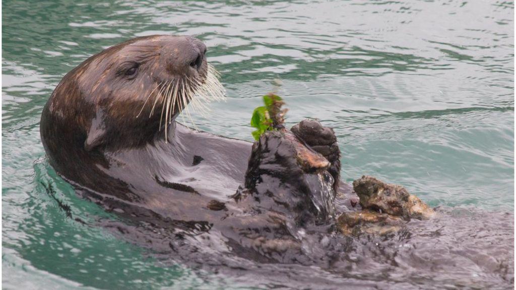 95260358 elkhornslough rockanvil mussel3 - Sea otters ahead of dolphins in using tools