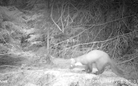 97237041 p05brsvj - Rare pine marten captured on camera in North Yorkshire