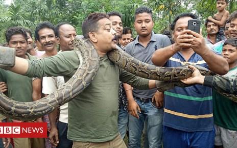 102098572 pythonindia - India python: Snake tries to strangle West Bengal selfie taker