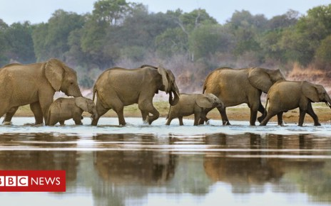 102450312 c0159992 elephants crossing luangwa river spl - Elephant poaching: 'Sick' EU ivory sales 'cover up illegal trade'