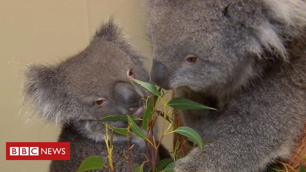 102536582 p06dtt0r - Longleat prepares for arrival vulnerable Southern Koalas