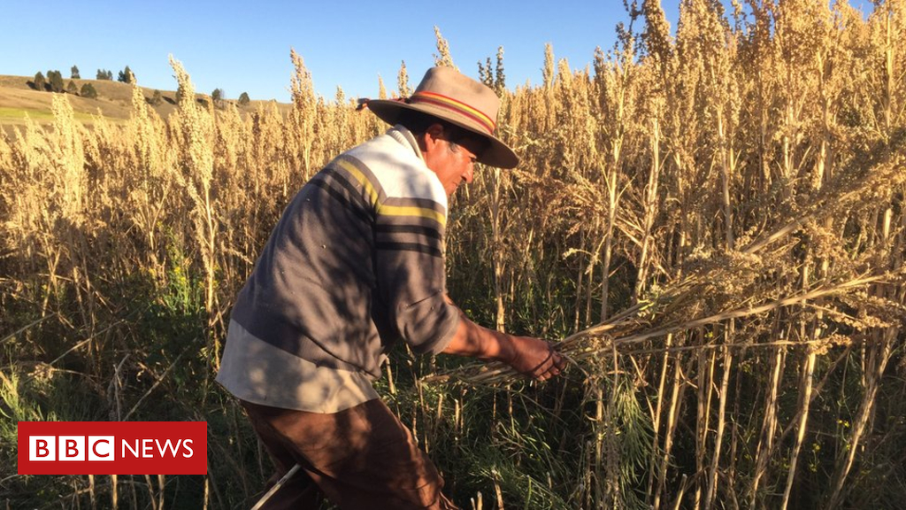102789090 rodrigocisneroscuttingquinoa - How quinoa is changing farmers' lives in Peru
