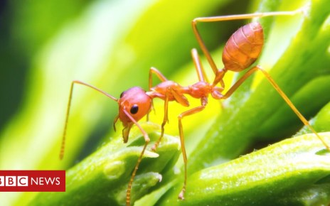 103045228 fireantgettyimages 491988942 - Ants show 'lazy' approach may be best for digging