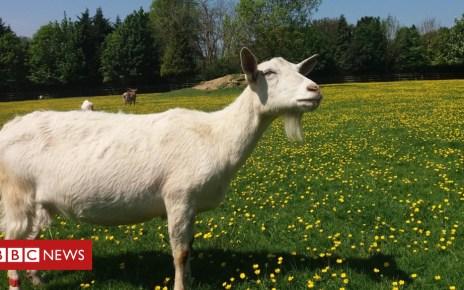 103204377 mediaitem103204376 - Goats 'drawn to happy human faces'