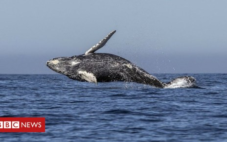103388943 gettyimages 932605342 - Japan 'to leave whaling commission to resume hunting'