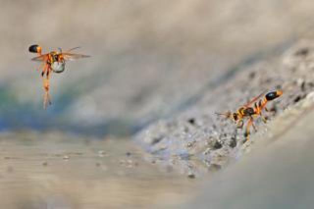 Mud-dauber wasps at Walyormouring Nature Reserve, Western Australia