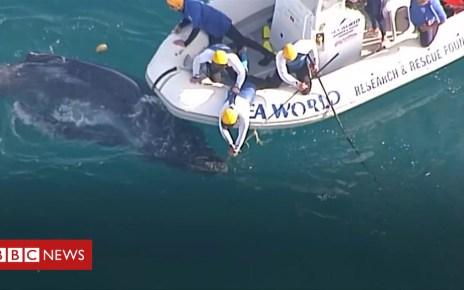 103782978 p06nckmk - Whale calf rescued from shark net near Australian coast