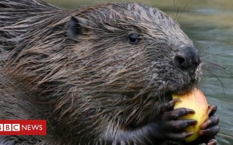 96984342  72881603 beaver 624 - Beaver reintroduction positive example of 'rewilding' says study
