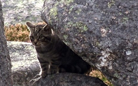 p06pklks - 'Wildcat kittens' filmed in Cairngorms