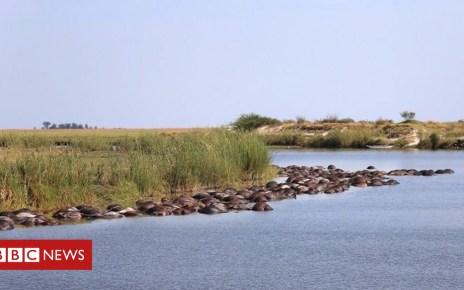 104224928 drajqbuxgaqqpbr - Hundreds of buffaloes drown 'fleeing lions' in Botswana