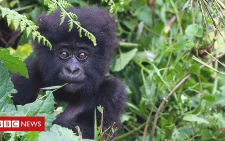104333307 gettyimages 460856666 - 'Conservation successes' bring hope for mountain gorilla