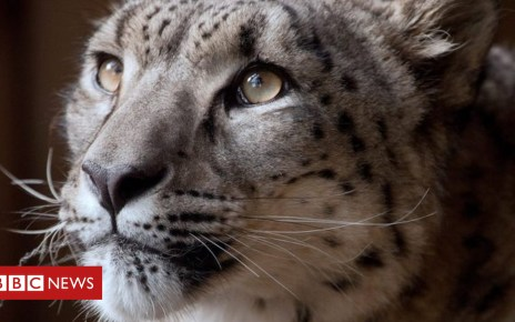 104552972 leopard - Snow leopard shot dead at Dudley Zoo after escaping area