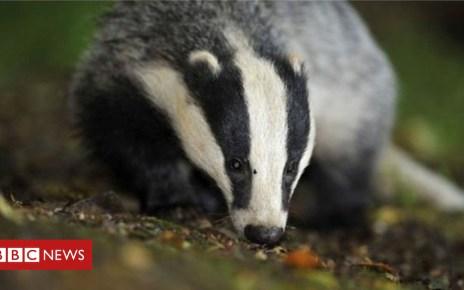 95353331 mediaitem95353330 - Ministers 'misleading on badger cull'