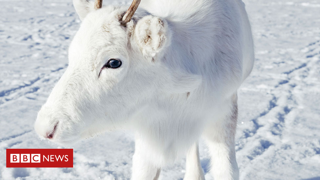 104608999 cropped caters rare white baby reindeer 04  1 - Rare white reindeer calf spotted on camera in Norway
