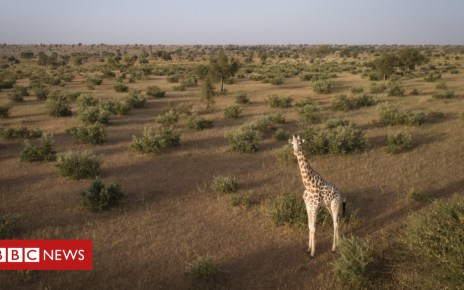 104621122 6c31e2ab 4f51 4be3 a26d dc6258411d36 - Saving the world's last West African giraffes in Niger
