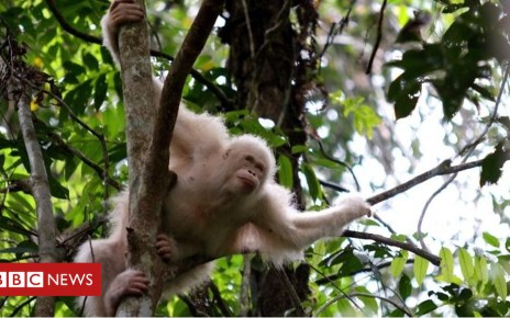 104921085 p06wcdjh - Rare albino orangutan 'Alba' returns to the wild