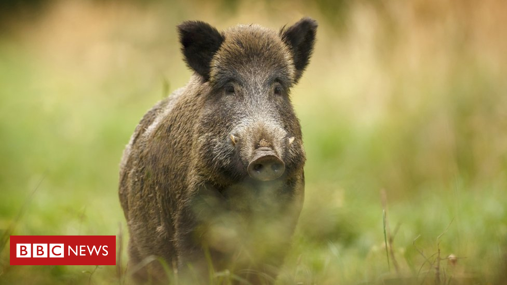 105146494 2ca4093f f1ed 4db6 b2c0 555d9676a95c - Polish outcry over wild boar cull prompts government denial