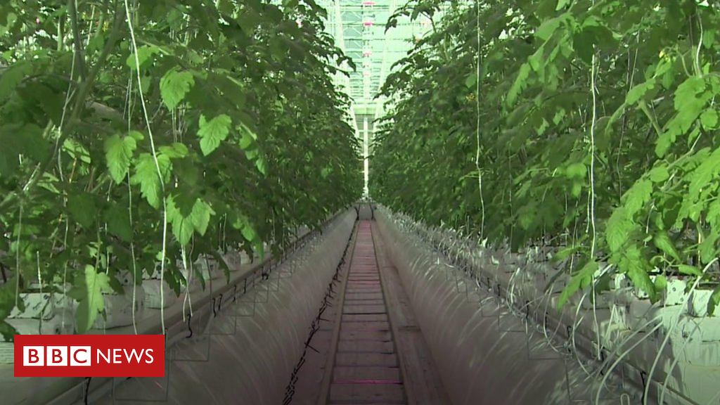 105152398 p06xvpbk - Giant hi-tech tomato glasshouse set to produce millions of the fruit
